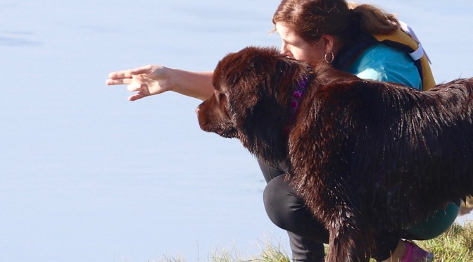 10 items to get you and your Newfie started with water dog training