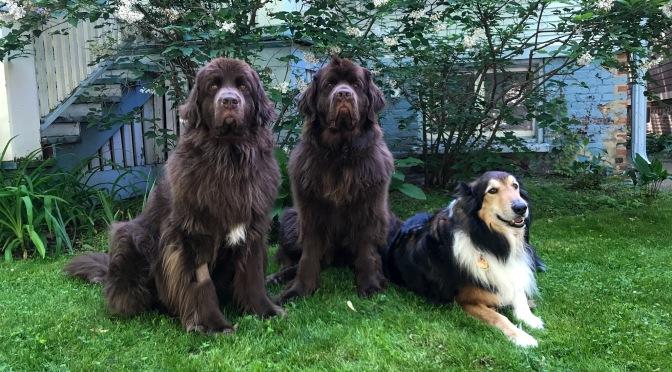 Corona Dogs
