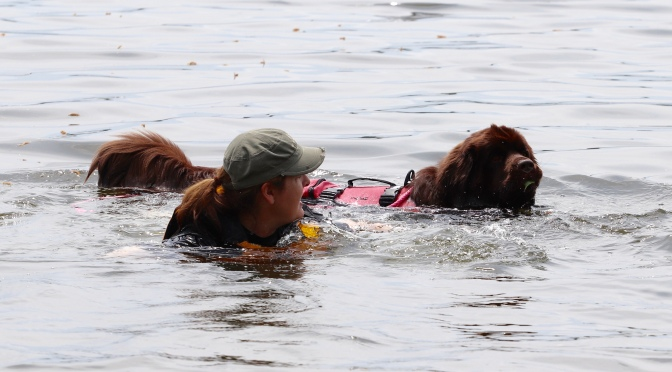 Why do Newfoundland dogs wear life jackets while water training?